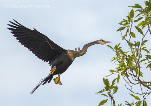 Juvenile female Anhinga ready to throw herself at the tree. They are not the most graceful landers.