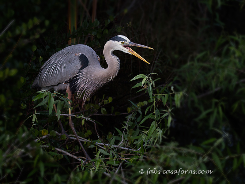 Great blue Heron expressing his unhappiness at another bird in his territory.