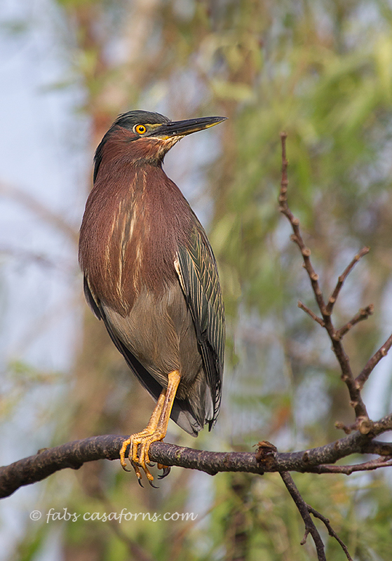 Green Heron enjoying the first rays of sun that morning.