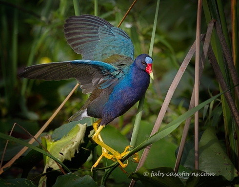 Purple Gallinule showing their ability to walk the reeds.