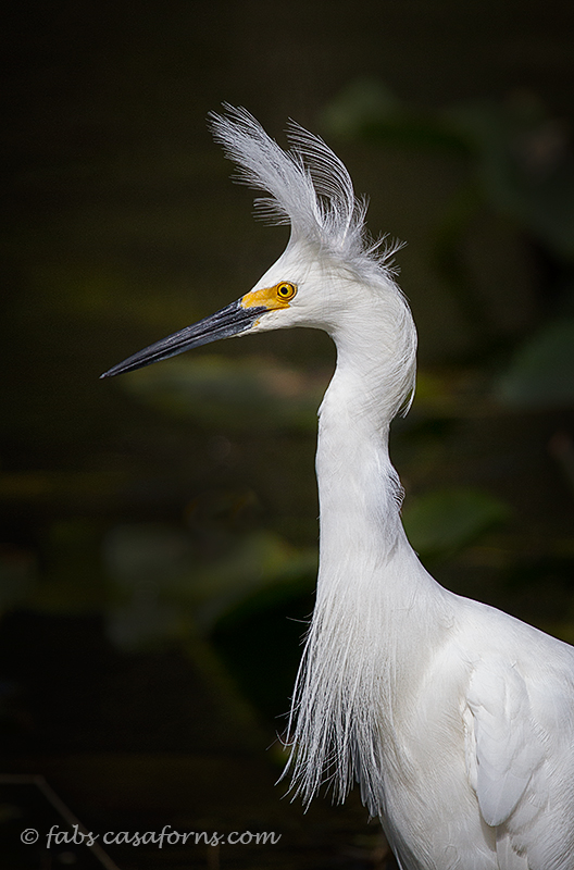 Snowy Egret having his crown blown by the wind.