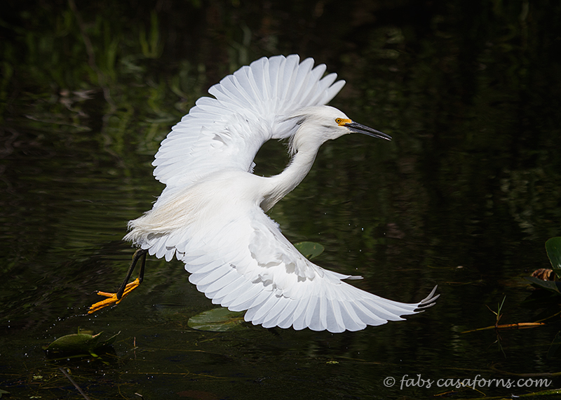 Snowy Egret dancing the water looking for fish.