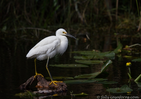 Snowy Egret posing on his Everglades habitat.