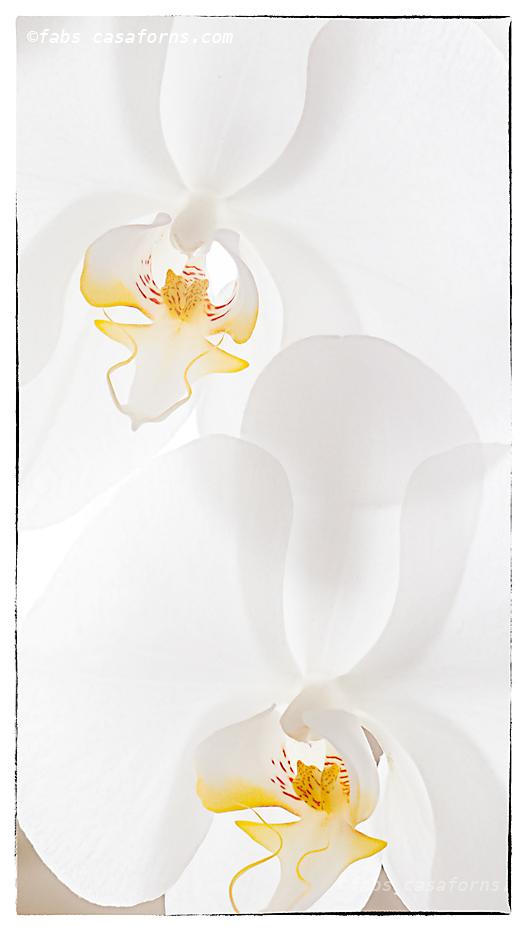 Phaleanopsis Study