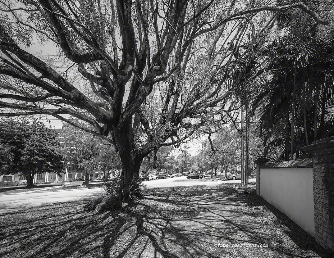 Coral Gables tree. Leica M Monochrome, Voigtlander 12mm