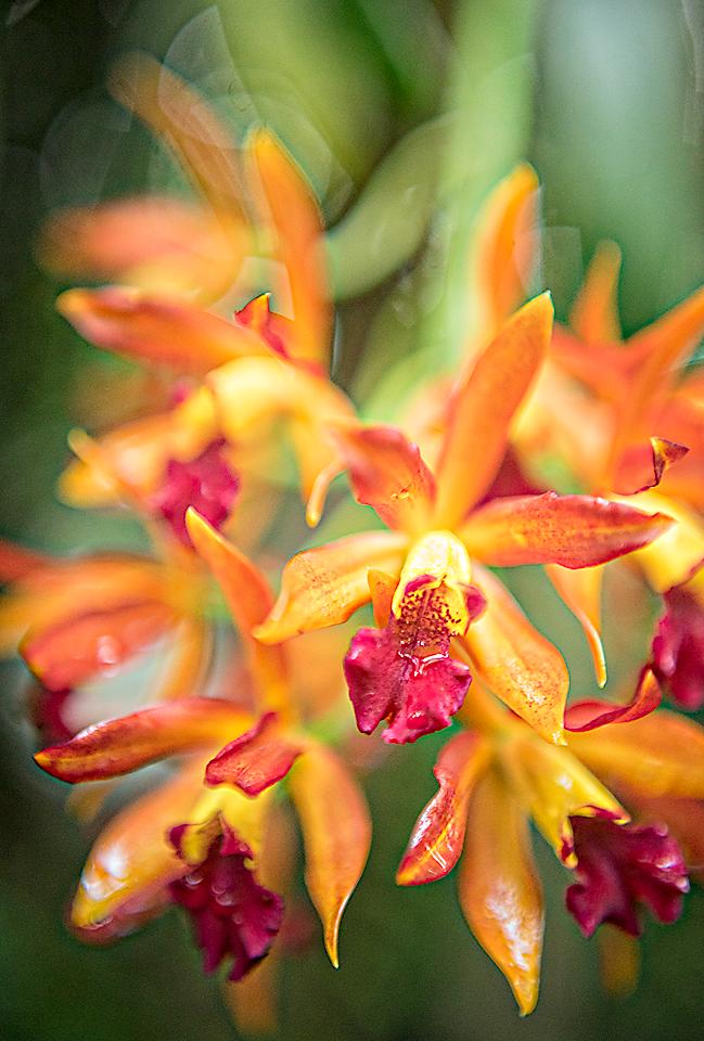 FC orangeorchids
